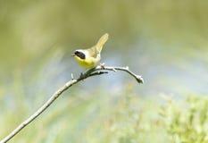 Yellowthroat Warbler  bird Royalty Free Stock Photography