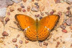 Common Yeoman butterfly Royalty Free Stock Photography