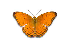 Common Yeoman butterfly Stock Image