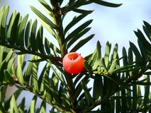 Common yew. Detail of berry of poisonous common yew stock image
