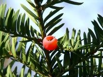 Common yew Stock Image