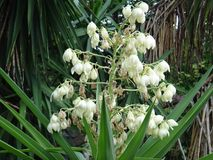 Common yucca - Flowers Stock Photography