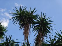 Common yucca Royalty Free Stock Photo