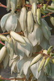Common yucca flowers. Common yucca (Yucca filamentosa). Called Adam's needle, Spanish bayonet, Bear-grass, Needle-palm, Silk-grass and Spoon-leaf yucca also Royalty Free Stock Images