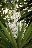 Common yucca or Spanish bayonet Yucca filamentosa. In bloom Stock Image