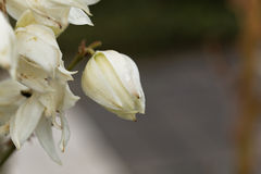 Common yucca, Yucca filamentosa. Flowers of a common yucca, Yucca filamentosa Royalty Free Stock Photos