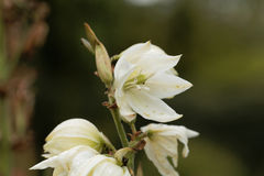 Common yucca, Yucca filamentosa. Flowers of a common yucca, Yucca filamentosa Stock Photography