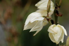 Common yucca, Yucca filamentosa. Flowers of a common yucca, Yucca filamentosa Royalty Free Stock Photo