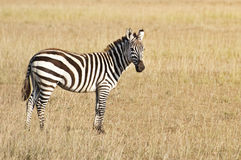 Common zebra Stock Images