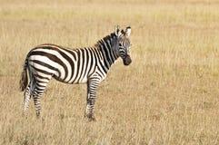 Common zebra Stock Images