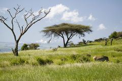 Common Zebra and Acacia tree and green grass of Lewa Conservancy with Mnt. Kenya in background, North Kenya, Africa Stock Photo