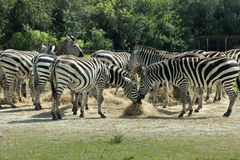 Common Zebra (Equus burchelli) Royalty Free Stock Photo