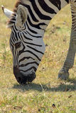 Common zebra grazing Stock Image