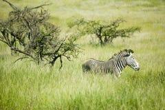 Common Zebra in green grass of Lewa Conservancy, North Kenya, Africa Stock Photos