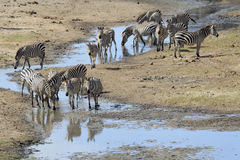 Common Zebra group drinking Stock Image