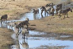 Common Zebra herd stock image