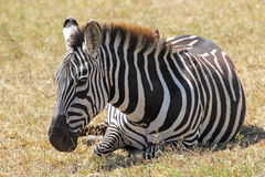 Common zebra lying Royalty Free Stock Photography