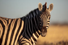 Common zebra of Namibia Royalty Free Stock Photography