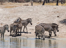 Common zebra Royalty Free Stock Images