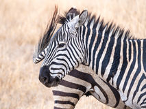 Common zebra Royalty Free Stock Photography
