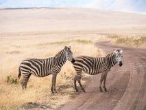 Common zebra Stock Photography