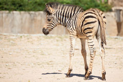Common Zebra, science names Equus burchellii, baby stand on sand ground Royalty Free Stock Images