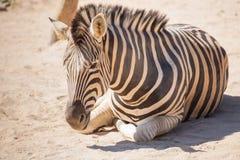 Common Zebra, science names Equus burchellii, baby stand on sand ground Stock Photo