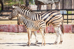 Common Zebra, science names Equus burchellii, mom and child stand on sand ground together Royalty Free Stock Photography
