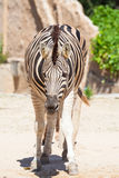 Common Zebra, science names Equus burchellii, stand on sand ground Stock Photo