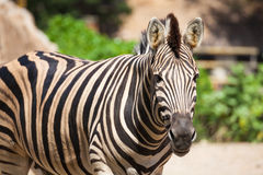Common Zebra, science names Equus burchellii, stand on sand ground Royalty Free Stock Image