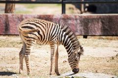 Common Zebra, science names Equus burchellii, stand on sand ground Royalty Free Stock Photography