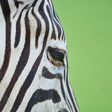 Common Zebra skin Stock Photos