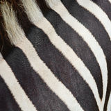 Common Zebra skin Stock Photo