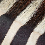 Common Zebra skin Royalty Free Stock Image