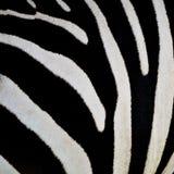 Common Zebra skin Royalty Free Stock Photography