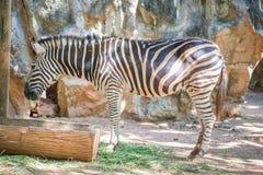 Common Zebra Royalty Free Stock Images