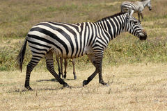 Common zebra walking Stock Image