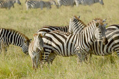 Common zebras with a baby Royalty Free Stock Photo