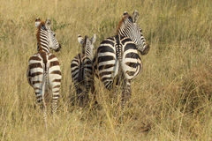Common zebras from behind Stock Photography