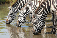 Common zebras drinking in Serengeti Royalty Free Stock Photography