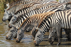 Common zebras drinking in Serengeti Royalty Free Stock Images