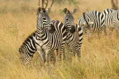 Common zebras grazing in savannah. A herd of common zebras, Equus Quagga, grazing in the savannah Serengeti National Park, Tanzania Stock Image