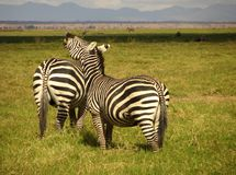 Common Zebras. A pair of common zebras in southern Kenya Royalty Free Stock Photography