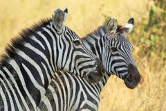 Common zebras Royalty Free Stock Image