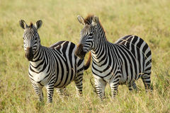 Common zebras Royalty Free Stock Images