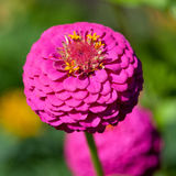 Common zinnia Stock Photo