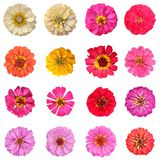Common zinnia collection on white background Stock Image