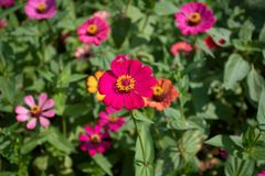 Common Zinnia at my house in Thailand royalty free stock photography