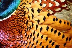 commonen befjädrar pheasanten Arkivbilder