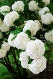 commonen kastar snöboll Royaltyfria Bilder